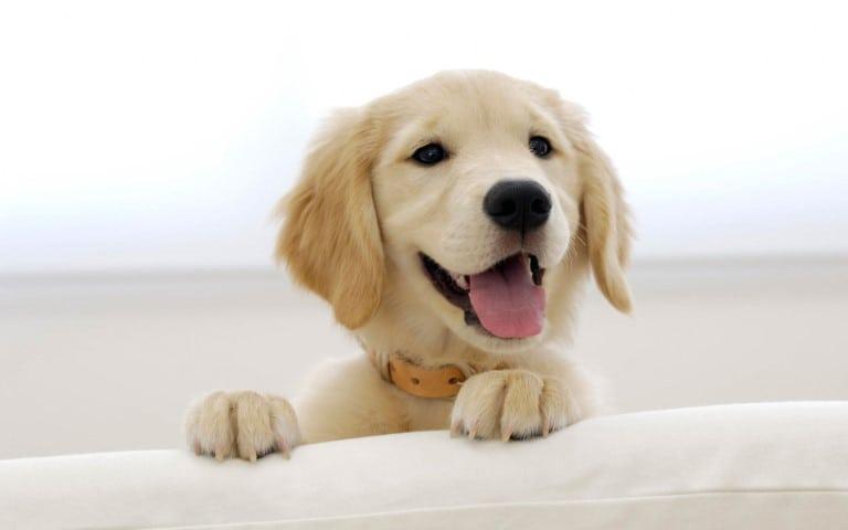 اسعار الكلاب الجولدن في مصر